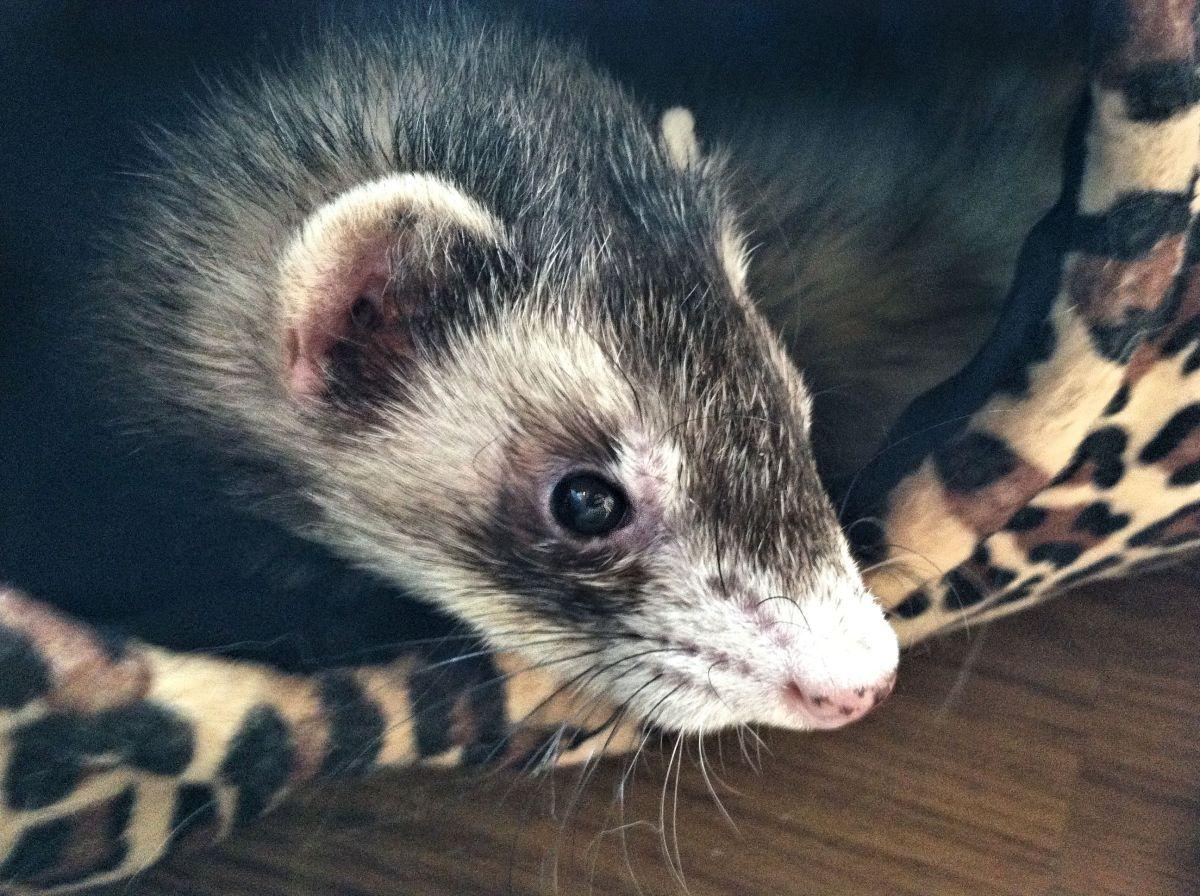 Insulinoma (Hypoglycemia) in ferrets